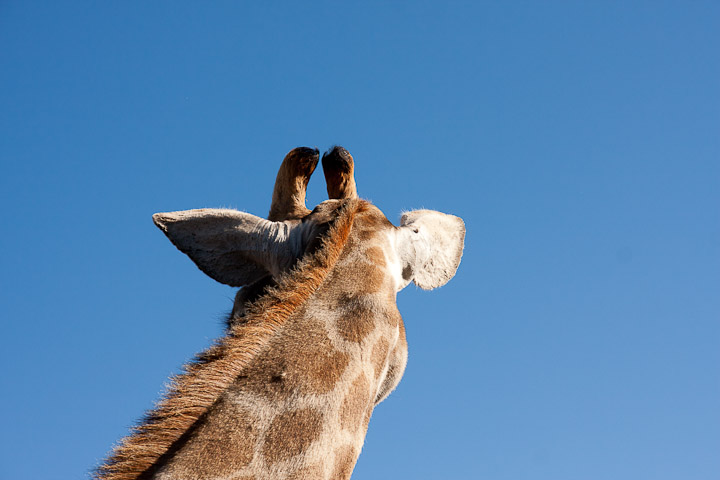 Giraffenbulle im windhoek Game Camp